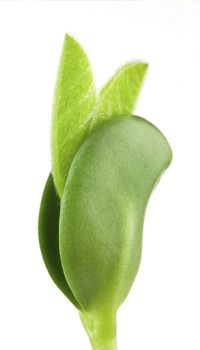 154232574_Soybean.png